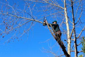 Devis élagage et taille d'arbre