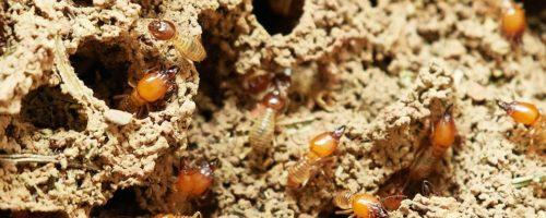 Devis termites